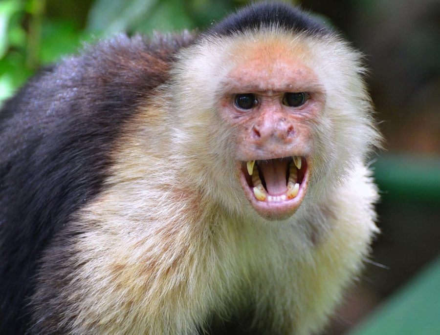 White-Faced Capuchin in the Wild