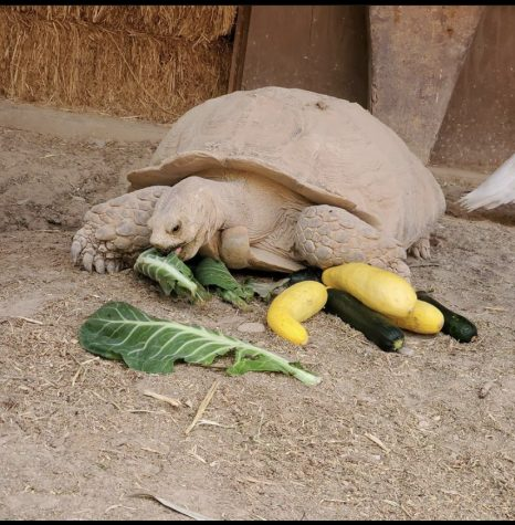 This is a friendly tortoise hanging out at the farm eating some snacks.