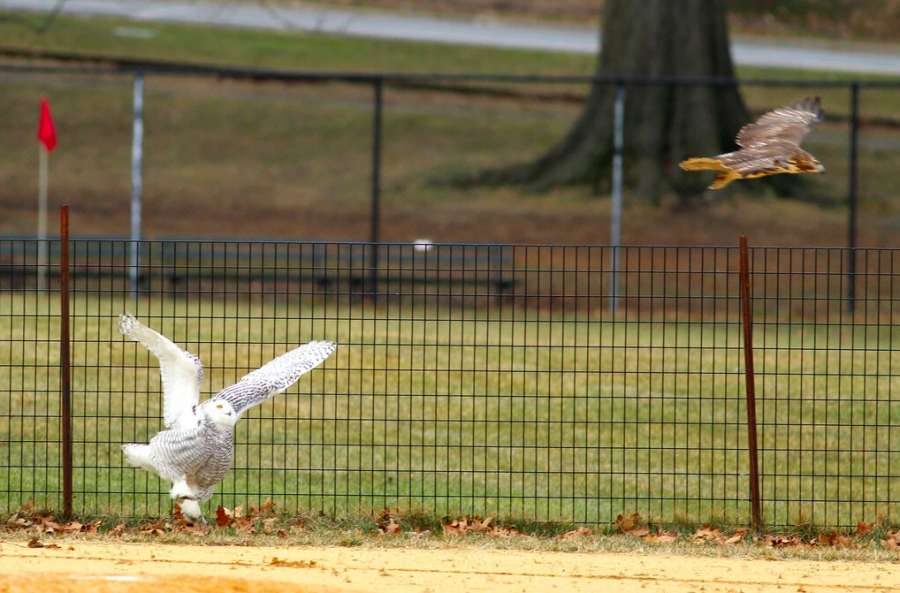 Snowy Owl is Attacked by a Red-Tailed Hawk