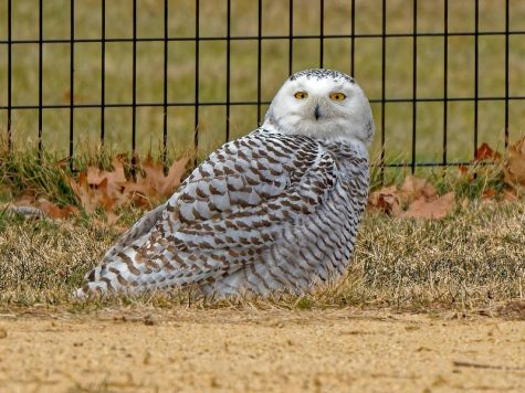 A Snowy Owl in Central Park, New York