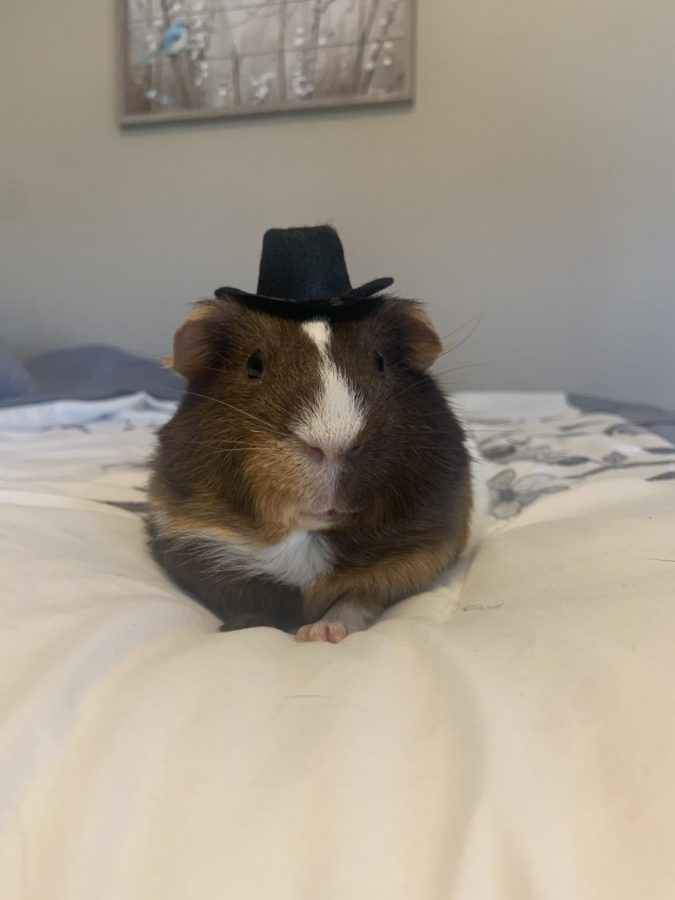 Taya Jensen's Guinea Pig Gibby