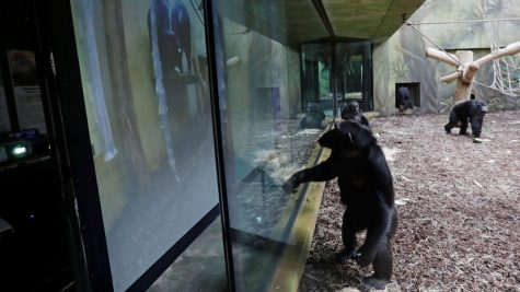 Silly Ape Watches Zoom
