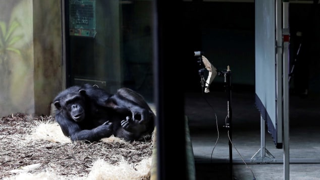 Apes Being Live Streamed on Zoom