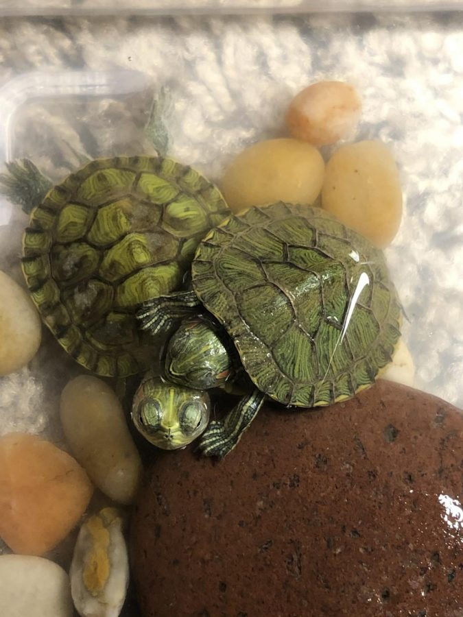Janelle Lyken's pet turtles, Tory and Toby