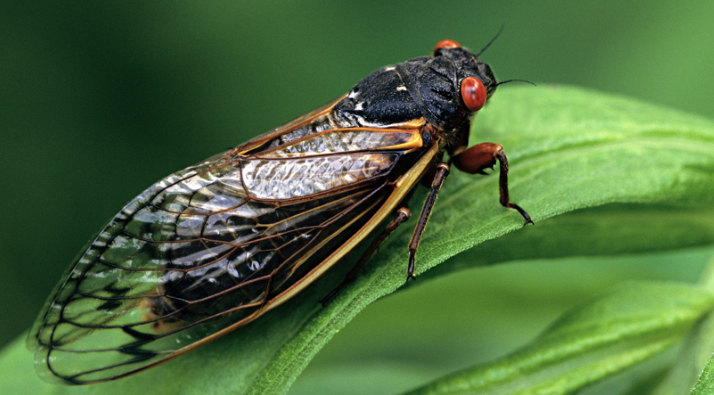 A+close+up+of+a+cicada+from+Brood+X+