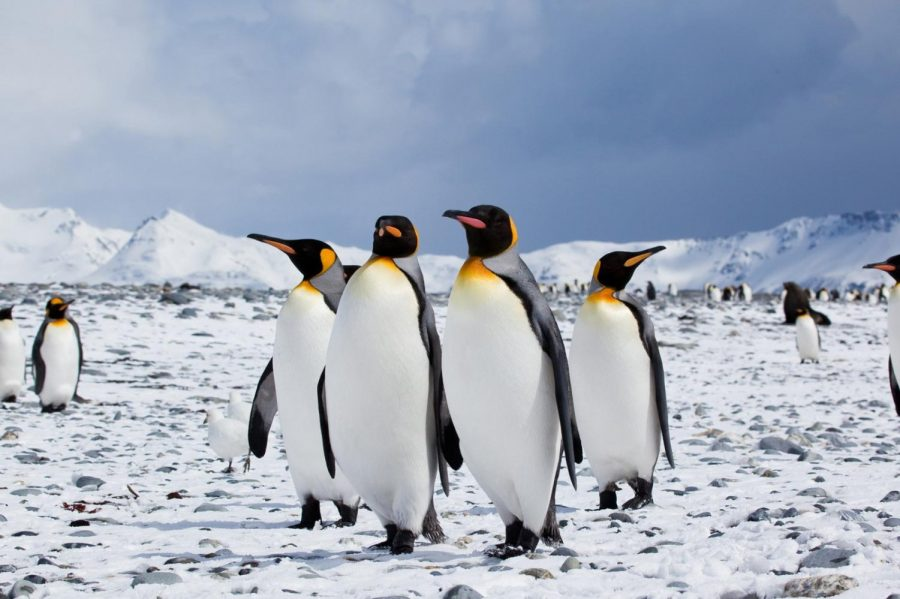 Penguins+in+the+Arctic+
